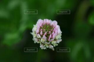 ほんのりピンクがかったシロツメクサのクローズアップの写真・画像素材[4449309]