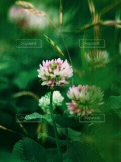 ほんのりピンクがかったシロツメクサの風景の写真・画像素材[4449307]