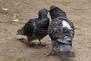 kissする鳩の写真・画像素材[3443682]