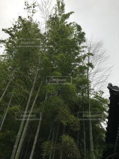 真っ直ぐ伸びた竹の写真・画像素材[2013235]