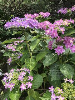 紫の紫陽花の写真・画像素材[2013237]