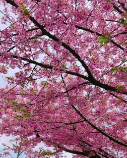 早咲きの桜の写真・画像素材[3002175]