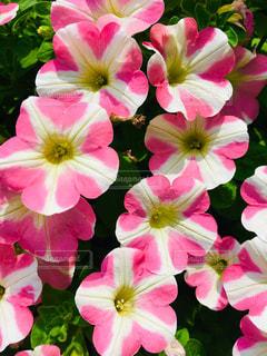 ハートの花びら見つけてね。桃色ハートの写真・画像素材[2054269]