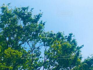 空を見上げたら、ハートの樹木♥️ ちょっとハッピーな気分。の写真・画像素材[2057946]
