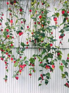 トタンの白壁にカーテンみたいな花の写真・画像素材[2086886]