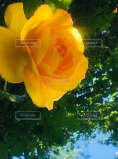 黄色いバラと空の写真・画像素材[2098447]