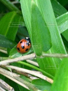 ハートの葉の下にかくれんぼしてるてんとう虫の写真・画像素材[2102501]