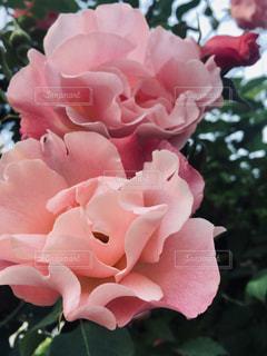 かわいいバラの写真・画像素材[2103234]
