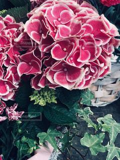 手まりのような丸くて綺麗な紫陽花の花の写真・画像素材[2118039]