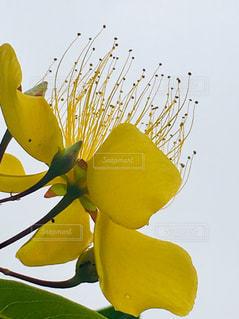 黄色い花 雨を待ちわびての写真・画像素材[2158545]