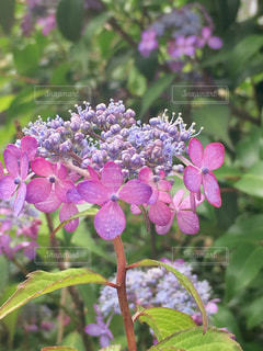 帽子のような小さなかわいい紫陽花の花。の写真・画像素材[2172731]