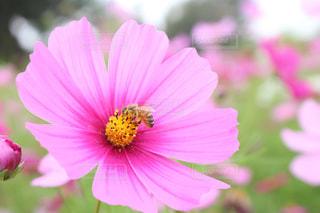 ミツバチとコスモスの写真・画像素材[2015479]