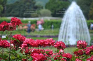バラと噴水の写真・画像素材[2152843]