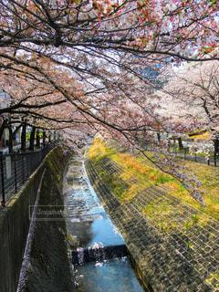 桜の写真・画像素材[2016667]