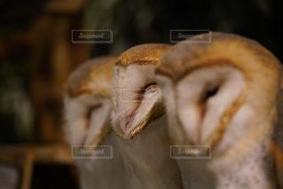 オメンフクロウ3羽の写真・画像素材[2031847]
