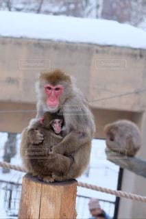 旭山動物園 ニホンザルの親子 20171224の写真・画像素材[2084598]