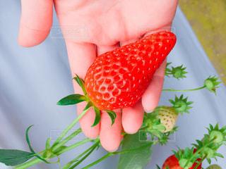 苺を持つ手のクローズアップの写真・画像素材[2303872]