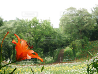 花畑の小道の写真・画像素材[2240193]