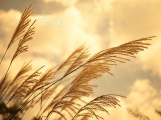 すすきの季節の写真・画像素材[2350257]