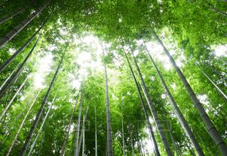 竹林の写真・画像素材[2355004]