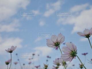 ピンク色のコスモスと秋晴れの空の写真・画像素材[3813813]