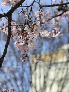 新宿駅前の桜の写真・画像素材[2020472]