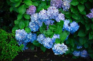 紫陽花の花の写真・画像素材[2104286]