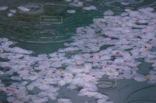 桜の写真・画像素材[76816]