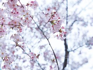木にピンクの花のグループの写真・画像素材[1089905]