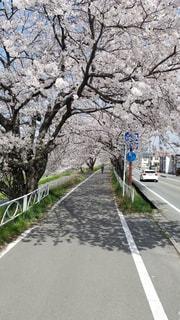 桜のトンネルの写真・画像素材[2026048]