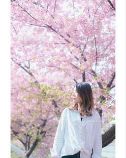 桜シリーズの写真・画像素材[2024960]
