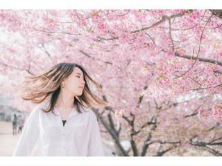 桜シリーズの写真・画像素材[2024961]