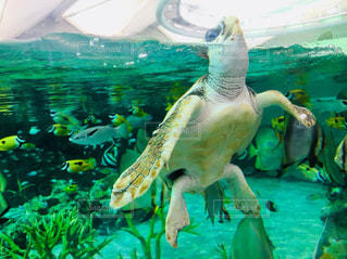 水中で泳ぐカメの写真・画像素材[2087651]