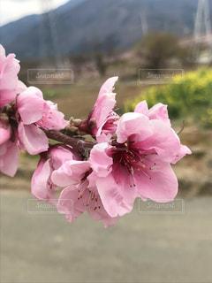 桃の花の写真・画像素材[2024697]