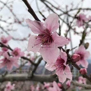 桃の花の写真・画像素材[2024698]