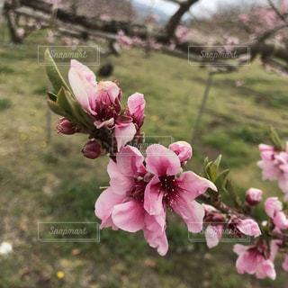 桃の花の写真・画像素材[2024699]