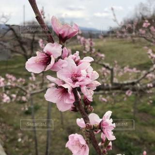 桃の花の写真・画像素材[2024702]