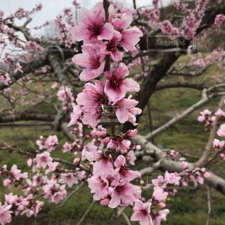 桃の花の写真・画像素材[2024703]