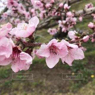 桃の花の写真・画像素材[2024704]