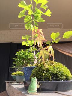 盆栽と蛙の写真・画像素材[2029534]