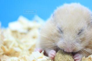 食べ物を食べるげっ歯類の写真・画像素材[2367451]