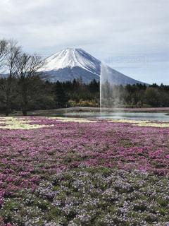 富士の芝桜と噴水の写真・画像素材[2071423]
