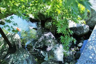 泳ぐ鯉の写真・画像素材[2029996]