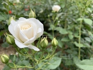 白薔薇の写真・画像素材[2133051]