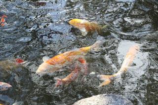 泳ぐ鯉の写真・画像素材[2031412]