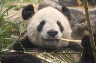 パンダの写真・画像素材[2034740]