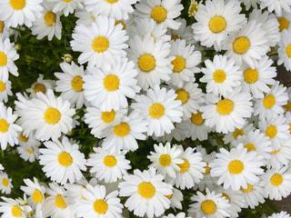 白い花の写真・画像素材[2038911]