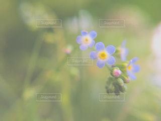 青い花の写真・画像素材[2050824]