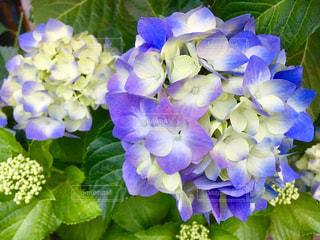 紫の紫陽花の写真・画像素材[2176029]