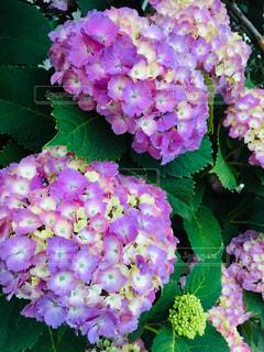 ピンクの紫陽花の写真・画像素材[2176033]